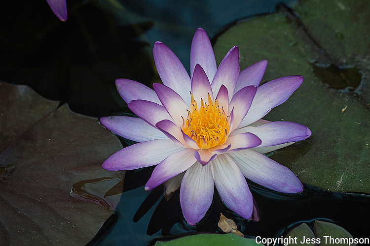 Water Lily, International Waterlily Gardens, San Angelo, TX