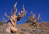 These BRISTLE CONE PINES are 4500 years old making them the oldest living things on the planet - WHITE MOUNTAINS, CA