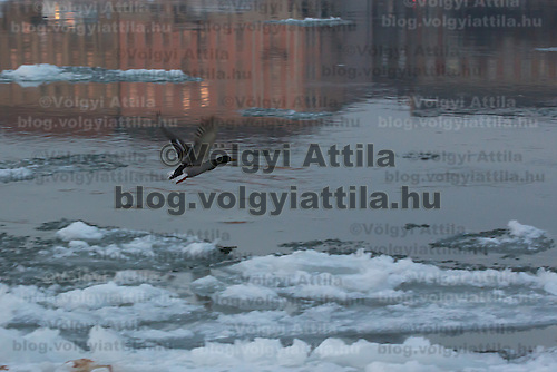 Wild duck fles among large blocks of ice on river Danube in Budapest, Hungary on January 11, 2017. ATTILA VOLGYI