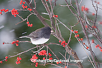 01569-014.09 Dark-eyed Junco (Junco hyemalis) in Common Winterberry (Ilex verticillata) in winter, Marion Co. IL