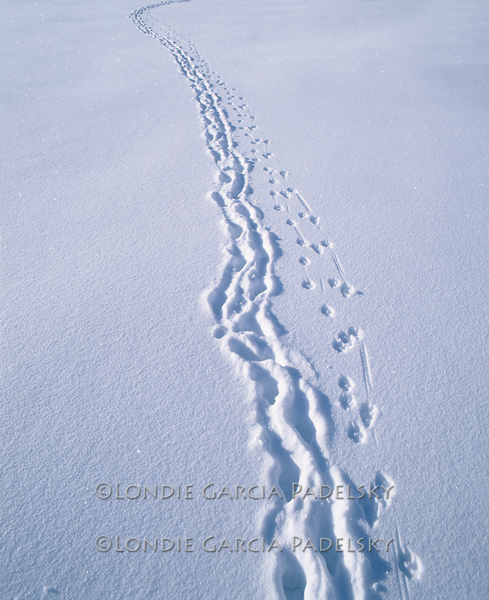 Hare tracks in snow, Sierra Nevada, California