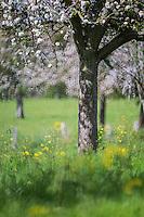 France, Calvados (14), Pays d' Auge, Villerville:  Pommiers en fleurs // France, Calvados, Pays d' Auge, Villerville: flowering apple trees