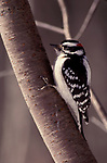 Downy Woodpecker, Picoides pubescens, male perched on tree, smallest woodpecker in North America, black and white colour,.