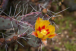 Long spined prickly pear cactus in bloom (opuntia macrocentra)