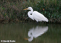 0315-0803  Great Egret Hunting for Food, Ardea alba © David Kuhn/Dwight Kuhn Photography