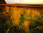 Salt marsh grasses near Leadbetter Point on Willapa Bay, Willapa National Wildlife Refuge, Pacific County, WA