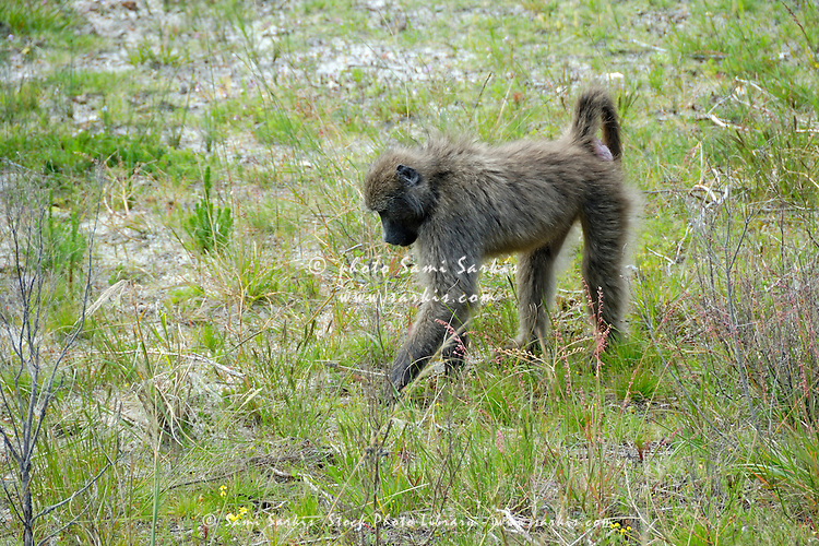 Lonely Chacma baboon (Papio Ursinus) walking on grass, South Western Cape, South Africa
