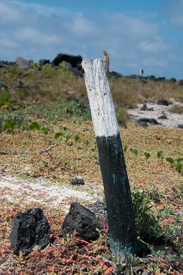 this lavalizard has found a lookout on the pole of the path at tortuga bay santa cruz galapagos