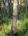 Orange ribbon tied onto a tree in the Esopus Bend Nature Preserve, in Saugerties, NY, on Monday, September 4, 2017. Photo by Jim Peppler. Copyright/Jim Peppler-2017.