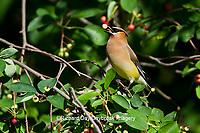 01415-02915 Cedar Waxwing (Bombycilla cedrorum) eating berry in Serviceberry Bush (Amelanchier canadensis), Marion Co., IL