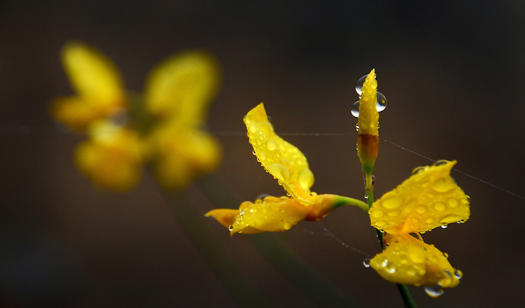 Bird's Foot Trefoil - Mt. Tamalpais