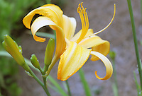 Stock photo: Beautiful yellow Day lily flower close up showing details.