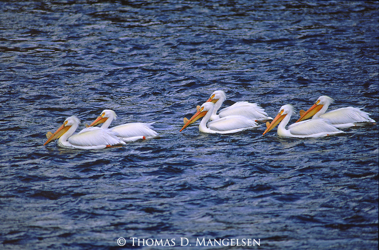 White Pelicans float down the Yellowstone river