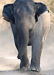 Female Asian Elephant, Elephas maximus, Charging camera, Corbett National Park, Uttarakhand, Northern India, .India....