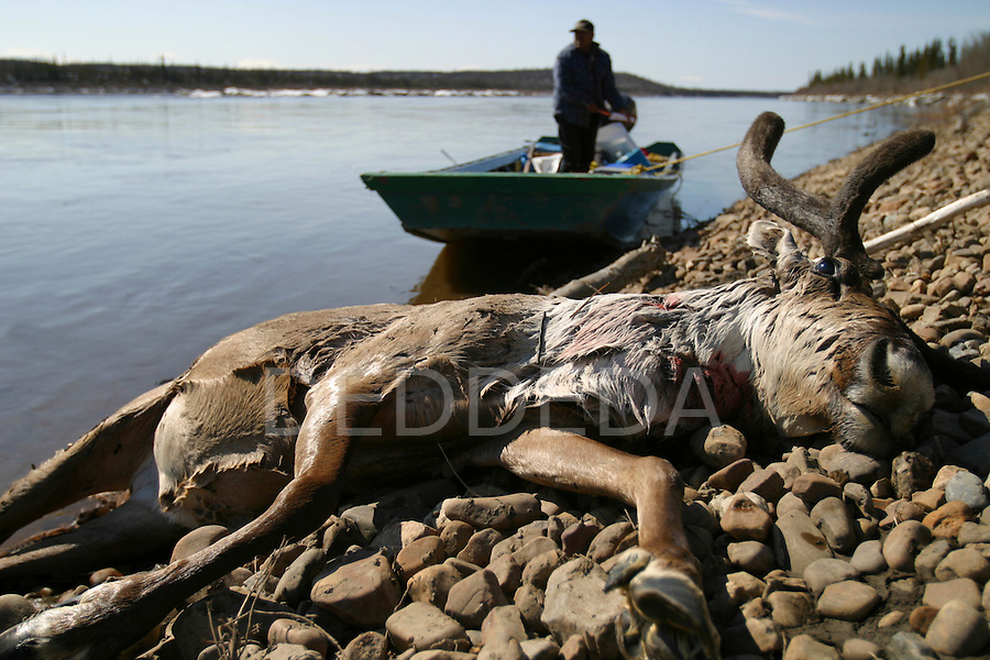 A dead caribou lies along the banks on the Porcupine River near Old Crow, Yukon Territory, Canada.