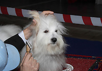 Coton de Tuleard on the grooming table being groomed just before the show ring, at the international dog show in prague may 2014.