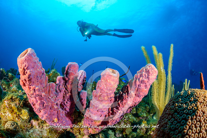 Pseudoceratina crassa, Karibischer Roehrenschwamm, und Taucher, Caribbean tube sponge or Branching tube sponge and scuba diver, Insel Cooper, Britische Jungferninsel, Karibik, Karibisches Meer, Cooper Island, British Virgin Islands, BVI, Caribbean Sea