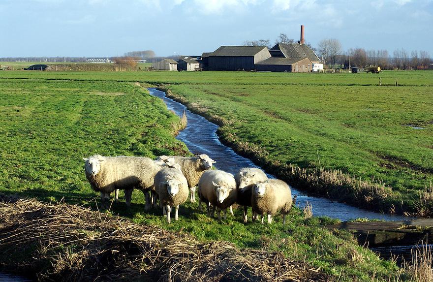 Nederland,   Nijkerk, 10 jan 2005. .Schapen met weiland en boerderij op de achtergrond.landschap, landbouw..Foto (c) Michiel Wijnbergh