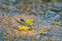 591600025 a wild blue-winged warbler vermivora cyanoptera bathes in a small stream on south padre island cameron county texas united states