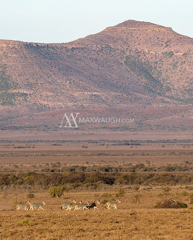Burchell's zebras in the Great Karoo.