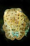 Cuttlefish portrait, Sepia sp., Tulamben, Bali, Indonesia, Pacific Ocean