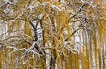 Weeping willow (Salix sp.) Methow Valley, Washington, USA<br /> <br /> Sony ILCE-9, FE 100-400mm F4.5-5.6 GM OSS lens, f/14 for 1/1600 second, ISO 1000