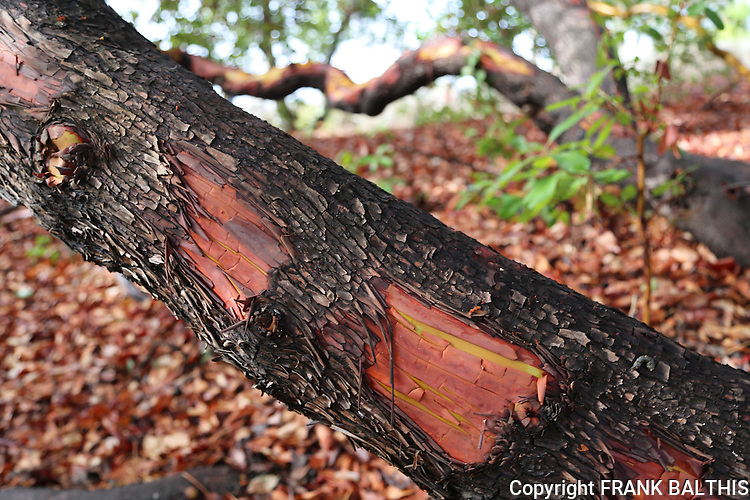 Madrone trees at Zayante Sand Hills