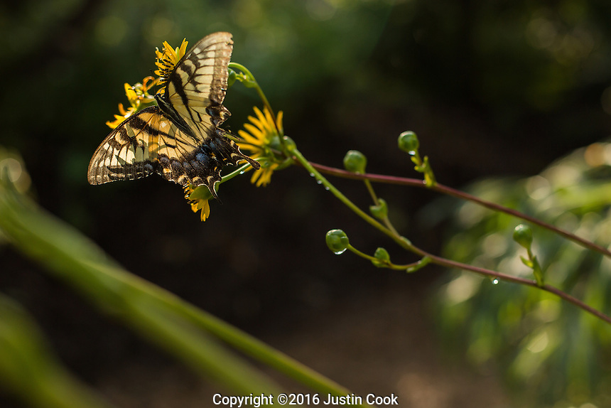 A tiger swallowtail butterfly on a Black-Eyed Susan at Plant Delights Nursery and Juniper Level Botanic Garden in Raleigh, NC on Friday, August 26, 2016. (Justin Cook)