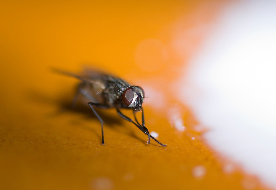 Frankrijk, 29 juli 2006Vlieg op de rand van een bord eet restjes voedsel weg. Door een slurfje zuigt de vlieg voedsel naar binnen.Foto: (c) Michiel Wijnbergh
