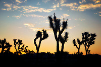 Silhouetted trees at sunrise. Joshua Tree National Park, CA