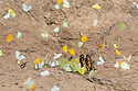 Butterflies including King Swallowtail (Papilio thoas) drinking salts from mineral-rich river clay, a behaviour know as 'puddling'. On the banks of the Manu River, Manu Biosphere Reserve, Amazonia, Peru. November.