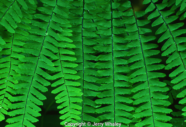 Maidenhair Fern, Great Smoky Mountains National Park, TN, USA