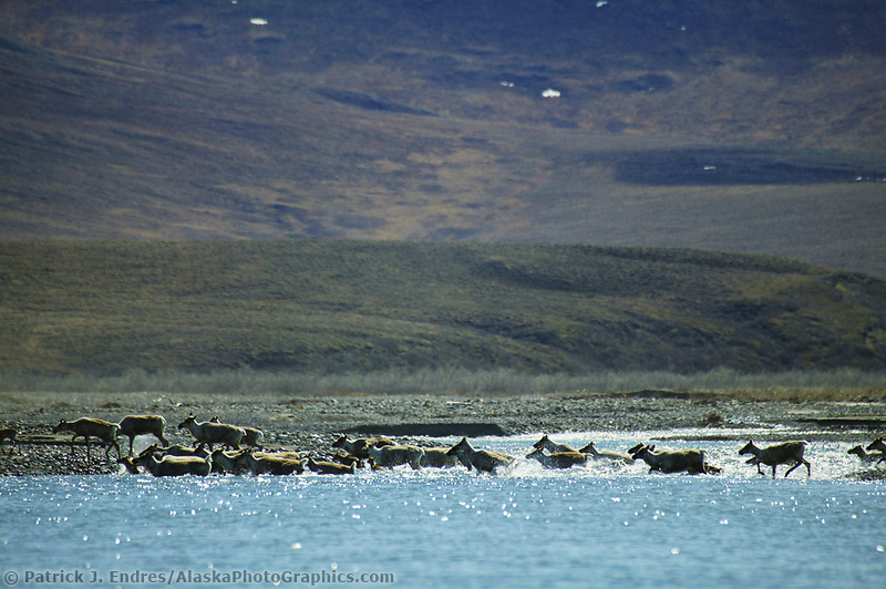 Aggregations of the Porcupine caribou herd during eastward migration from the Arctic Coastal Plains following calving. Kongakut river, Brooks range mountains, Arctic National Wildlife Refuge, Alaska