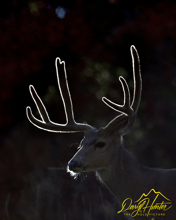 Backlight lights up the velvet of a Mule Deer Buck's antlers in Grand Teton National Park