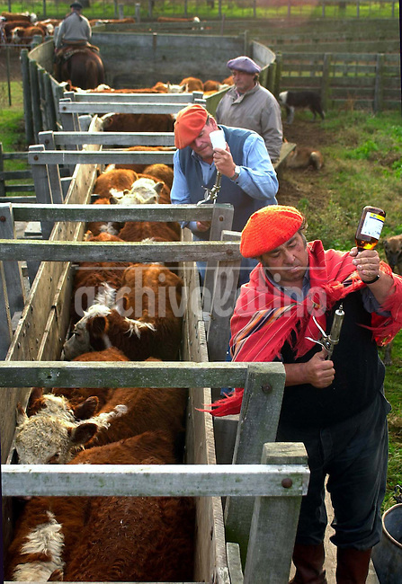 Estancia La Rubia, dedicada a la cria de ganado vacuno raza Hereford de la mas alta calidad,  en Trenque Lauquen, en la llanura pampeana al oeste de  Buenos Aires.+ agro, gaucho, vaca, economia,campo *La Rubia farm, famous riser of  the finest Hereford cows of Argentina, in the pampas of  Trenque Lauquen,  West from Buenos Aires city +economy, cow, gaucho, cattle*La ferme La Rubia dédiée à l'élevage de vaches de race Hereford de haute qualité, à 450 kilomètres à l'ouest de Buenos Aires. +bétail, viande, agriculture, élevage..