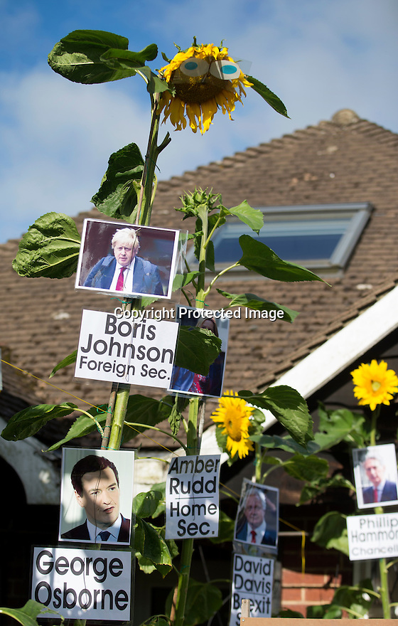 "04/08/16<br /> <br /> The sun may have already set for many of these ""seedy"" politicians, but that doesn't stop gardener Ralph Beresford from giving his favourite blooms a helping hand to become the tallest sunflower in Derbyshire.<br /> <br /> The 70-year-old planted the flowers in early March and named each one after politicians, adding a mug shot and a pair of eyes to each bright yellow head in the front garden of his bungalow in Belper.<br /> <br /> He said it was his 10-year-old grandson Jamie's idea to pick politicians as this year's theme.<br /> <br /> ""I started doing this as a bit of fun, about ten years ago, and Jamie started to help me as soon as he was old enough.<br /> <br /> ""We've done all sorts of themes, including the Commonwealth Games, Harry Potter, the Queen's 90th birthday and the Olympic games.<br /> <br /> ""But this year we thought we'd do the politicians as they've all been in the news so much.<br /> <br /> ""Boris Johnson is definitely winning the race so far, he's around 12ft now, but Theresa May is hot on his heels in second place, closely followed by Diane Abbott.<br /> <br /> ""But Jeremy Hunt is on his way out, it looks like he'll be the first to go to seed.""<br /> <br /> All Rights Reserved, F Stop Press Ltd. +44 (0)1773 550665"
