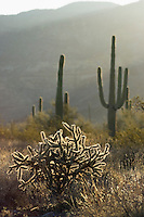 Buckhorn cholla, Opuntia acanthocarpa, and Saguaro, Carnegiea gigantea (Cereus giganteus). Organ Pipe Cactus National Monument, Arizona.