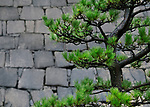 Bent Japanese black pine tree, Pinus thunbergii, Niwaki trained green branches on stone wall background in a garden in Osaka, Japan