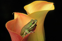 GREEN TREE FROG in lily..Southeastern & south-central USA..(Hyla cinerea)..