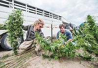 From left, Zachary Sobol (cq) and Jordan Stanley (cq) harvest industrial grade hemp at the Stanley Brother's farm of Charlotte's Web near Wray, Colorado, Monday, September 22, 2014. The Stanley Brothers have developed a popular strain of marijuana that has been found to be helpful in reducing seizures. The marijuana high in CBDs and low in THC, the chemical which gets a person stoned.<br /> <br /> Photo by Matt Nager