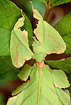 Leaf insect, Java, Indonesia