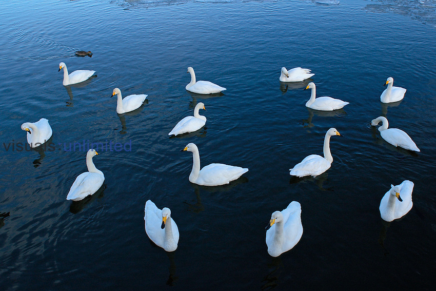 Whooper Swan (Cygnus cygnus) swimming, Japan. Wingspan 225cm.