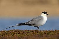 Long-tailed Skua - Stercorarius longicaudus