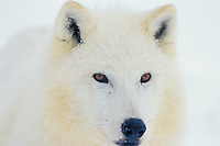 Arctic Gray Wolf or Arctic Wolf in snow.