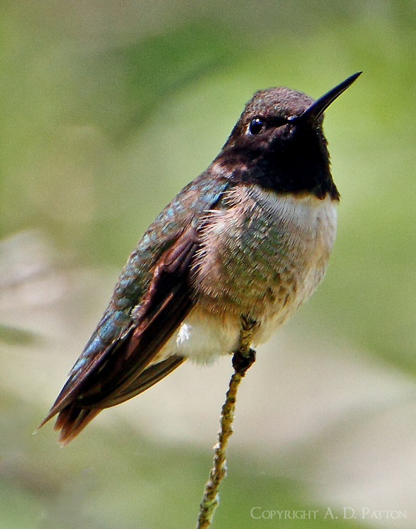 Adult male black-chinned hummingbird