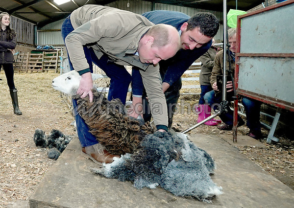 Prince William Duke of Cambridge taking part in sheep shearing with Jack Cartmel during a visit to Deepdale Hall Farm, a traditional fell sheep farm, in Patterdale, Cumbria. Photo Credit: ALPR/AdMedia