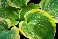 Close up of hosta 'American Halo'. Oregon