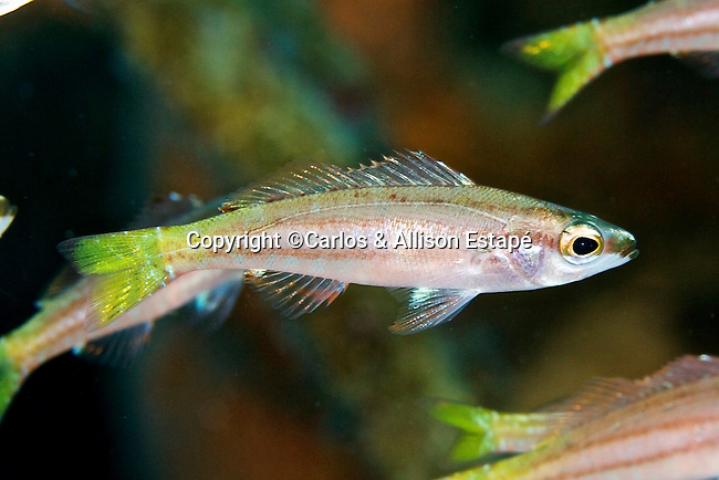Schultzea beta, School bass, Bahamas