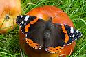 Red Admiral butterfly {Vanessa atalanta} feeding on rotten apple. Derbyshire, September.