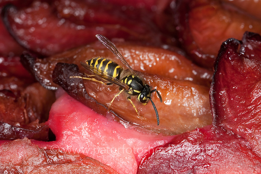 Gemeine Wespe, Gewöhnliche Wespe, Lästige Wespen am Kaffeetisch auf Pflaumenkuchen, Kuchen, Arbeiterin, Vespula vulgaris, Paravespula vulgaris, common wasp, yellowjacket